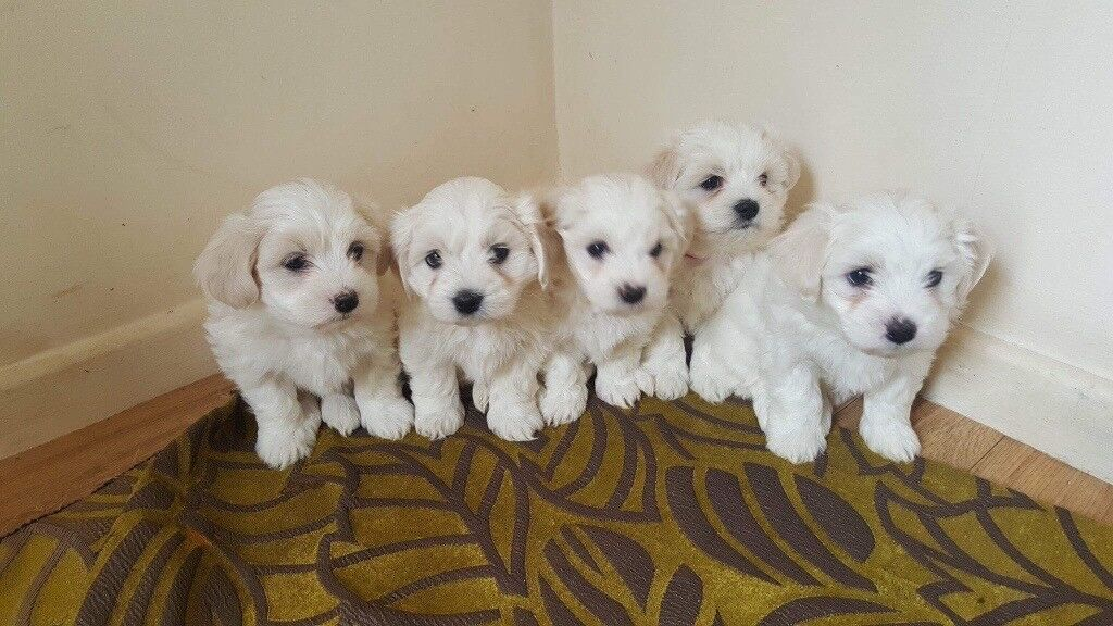 Maltese pups for sale | in Weston-super-Mare, Somerset | Gumtree