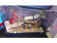 4 male rats with large cage