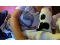 Jack Russell Pups - 1 boy 1 girl Nr Chester