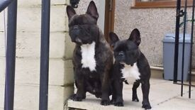 2 French each bulldogs need a new home