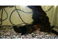 Fish bristlenose pleco
