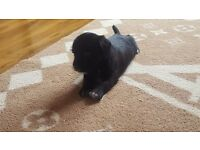 Jack russell x patterdale 2 left
