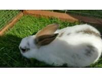 Lionlop bunnies