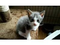 Curly Laperm Kitten