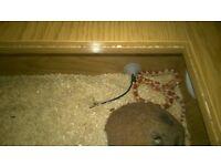 Amel Corn snake and vivarium