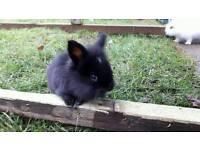 Baby boy lionlop rabbit