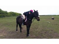 Dales X tb, 10 year old mare at 14.2-14.3hh.