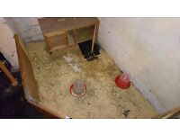I have two paint silkie chicks 10 weeks old tomorrow, comes with hutch, water feeder, pellet feeder.