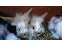 Three lionlop baby bunnies