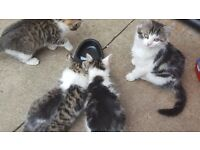 4 kittens for sale.