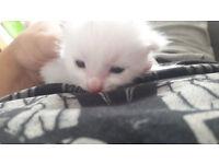 White Kittens Blue Eyed Burmilla