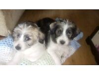 SHIH TZU /BORDER TERRIE puppies
