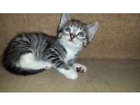 Lovely Tabby Kitten For Sale