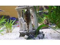 (PENDING) Pecolitia Vittatus - (freshwater tropical catfish)
