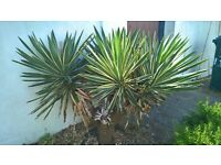 FREE to anyone prepared to dig out - 3x Bamboos; 3x Yuccas plus other plants + Garden Stones