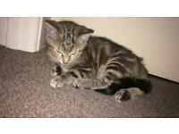 Kitten forsale