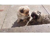 Pomeranian cross bichon puppy's for sale