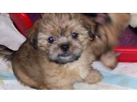 Gorgeous 3/4 Shih Tzu-Yorkie X (Shorkie) puppies ready to rehome