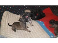 °•°Pug Puppies For Sale°•° 3 Weeks Old, Fully KC Registered, adorable Black And Fawn pugs