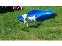 American Bulldog puppies cross staff