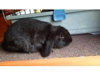 Cute black Dwarf-lop male rabbit for sale!!