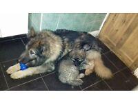 big teddy bear type sable long haired kc reg german shepherd puppies