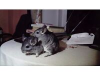 Two female baby chinchillas for sale