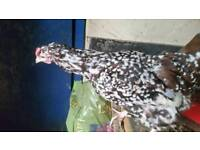 Speckled Sussex hen for sale