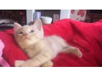 Light ginger/cream kittens!!