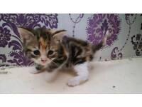 half tabby and half ginger kitten