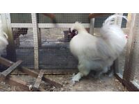 White Silkie Rooster/Cockerel for Sale