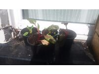 Swiss Chard Baby Plants
