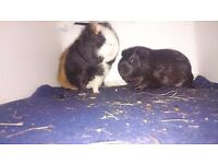 2 male guinea pigs for Free