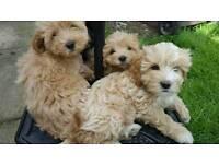 READY NOW 6 Cavalhapapoo puppies