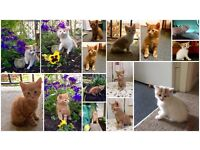 ginger and white beautiful short haired kittens are ready for a new loving home_ cats_ bromley