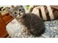 Bengal mix kitten- Molly