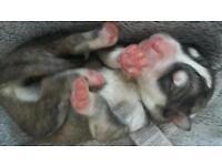 Akita x malamute pups