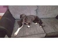 Saluki borzoi Grey hound