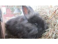 Mini lop lion head cross black rabbit 9 weeks old ready for loving home.