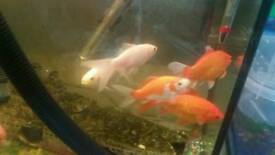 Goldfish. Males and females. Small, medium and large