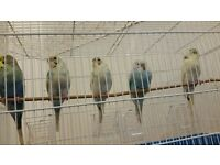 5 young budgies