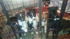 Akita x puppies