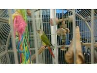 Beautiful Pineapple Conure Parrot + Cage + Box
