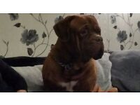 2 year old dogue de bordeaux for sale