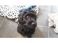 Adorable Cockerpoo looking for a loving home and family.