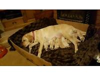 Pedigree golden labrador puppies