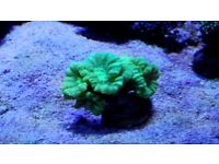 Flourescent Candy Cane Coral