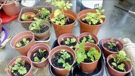 Feverfew plants £5 the lot or can sell seperatly