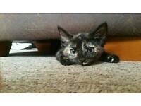 Urgent rehoming for lovely tortie kitten