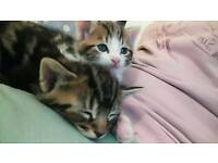 Sweetest ever marble bengal kittens